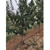 各种规格苹果树
