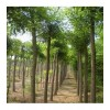 优质国槐苗3--15公分国槐树 刺槐树