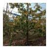 出售大规格樱桃树 山楂树