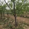 枣树 山楂树 桃树 杏树